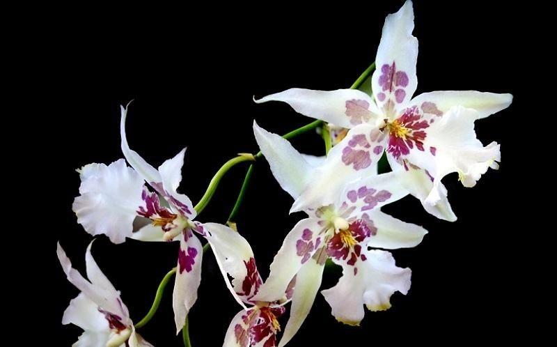 orquídeas odontoglossum