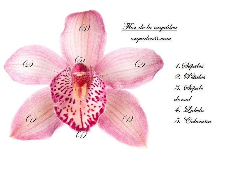 orquideas, características de la orquídea, partes de la flor de una orquídea