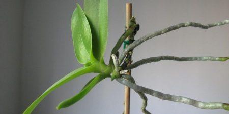 Keikis de Orquídeas