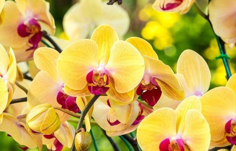 orquídeas amarillas 1