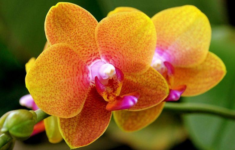 orquídeas amarillas 2