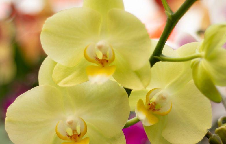 phalaenopsis amarilla